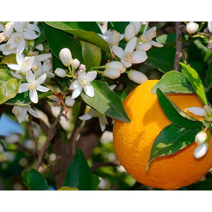 Цветочная вода Апельсина, 50 мл